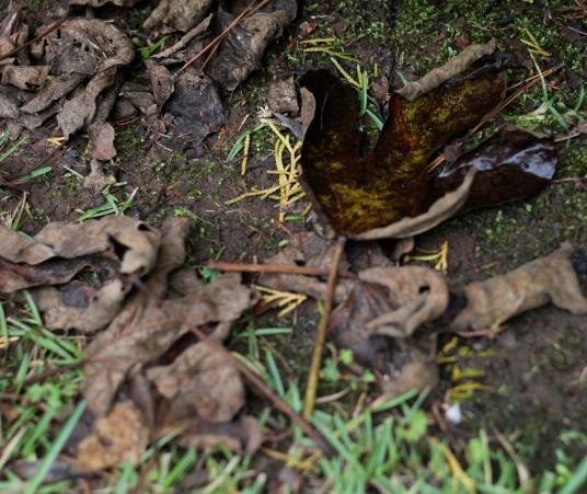 Fig leaves