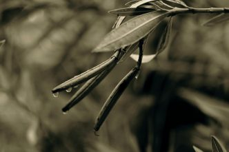 Leaves In Sepia #1
